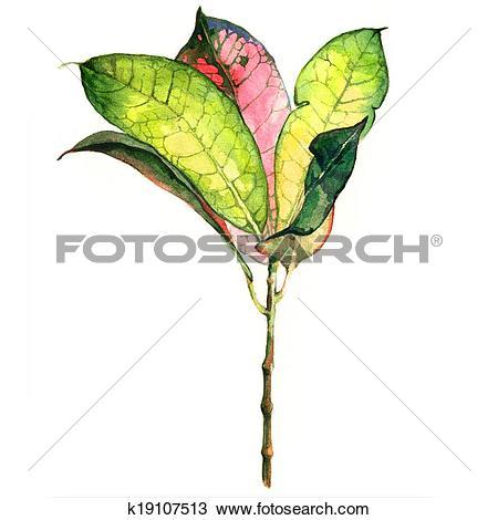 Drawing of Croton Plant k19107513.