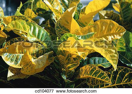 Picture of Croton (Codiaeum variegatum) cd104077.