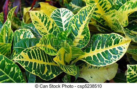 Croton Stock Photo Images. 350 Croton royalty free pictures and.