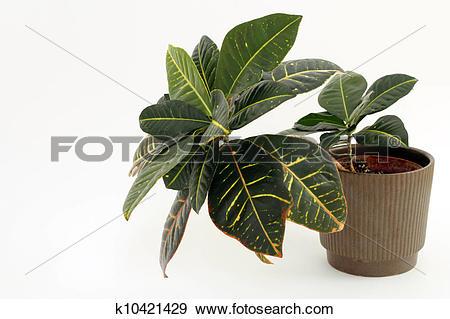 Stock Photograph of Croton Houseplant k10421429.