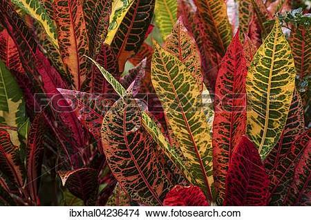 Stock Photo of Garden croton or variegated croton (Codiaeum.