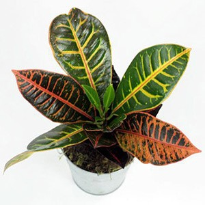 Croton Plants, Croton House Plant, Codiaeum Variegatum.