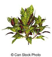Croton Clipart and Stock Illustrations. 40 Croton vector EPS.