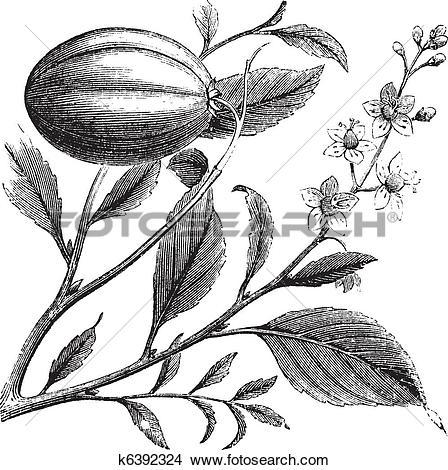 Clipart of Purging Croton or Croton tiglium, vintage engraving.