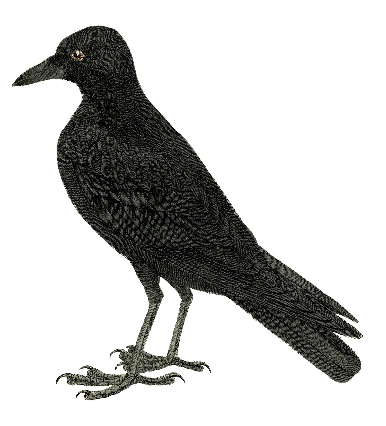 Crow clip art clipart 2.