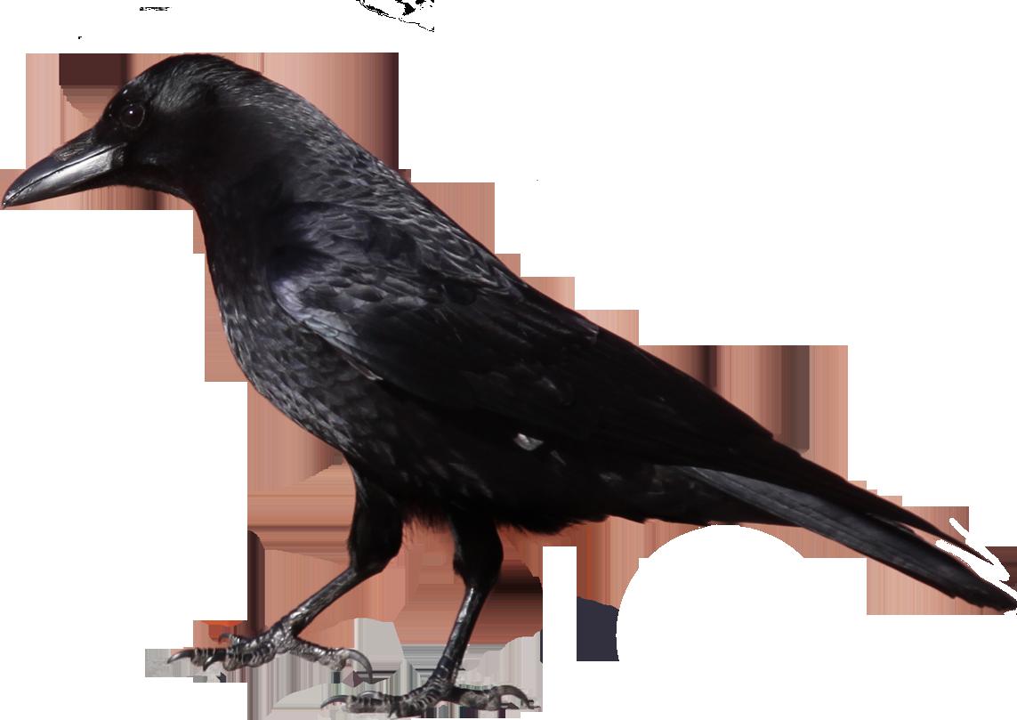 Crow cliparts.