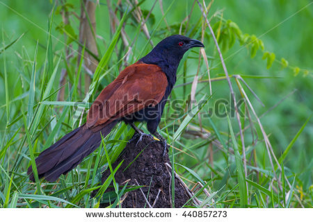 Crow Pheasant Stock Photos, Royalty.