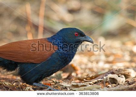 Ringneck Parrot Stock Photo 54597250.