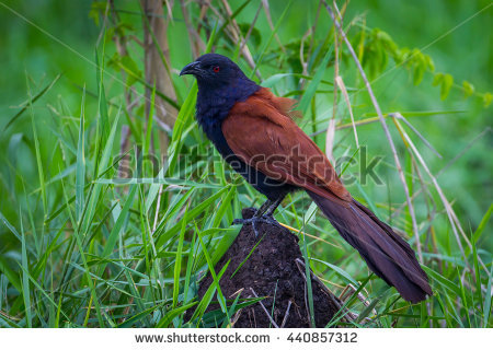 Large Crow Pheasant Stock Photos, Royalty.