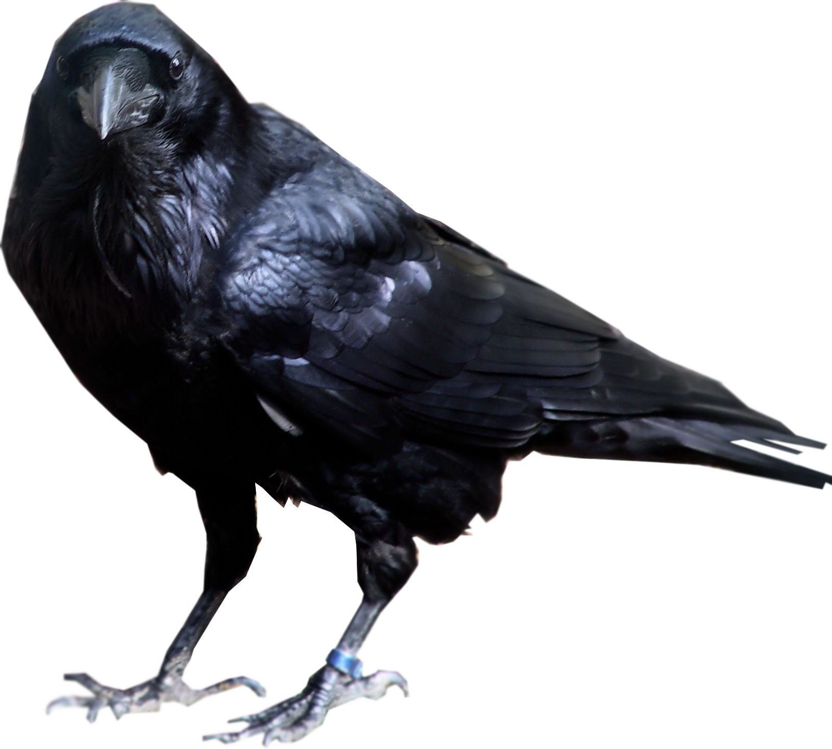 Crow Clipart PNG.