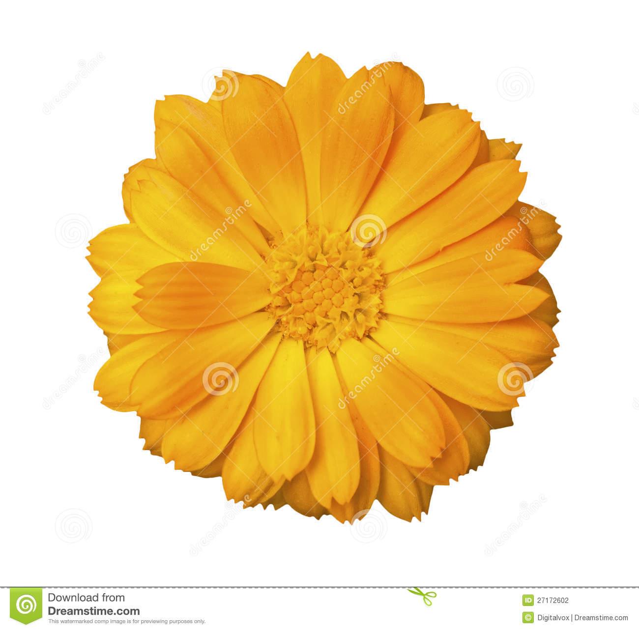 Genda Flower Clipart.