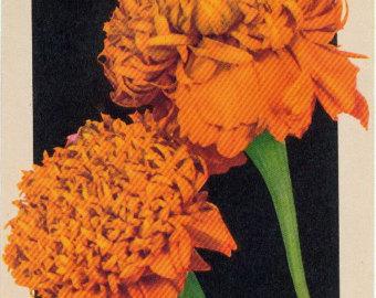 Crown marigold clipart #10