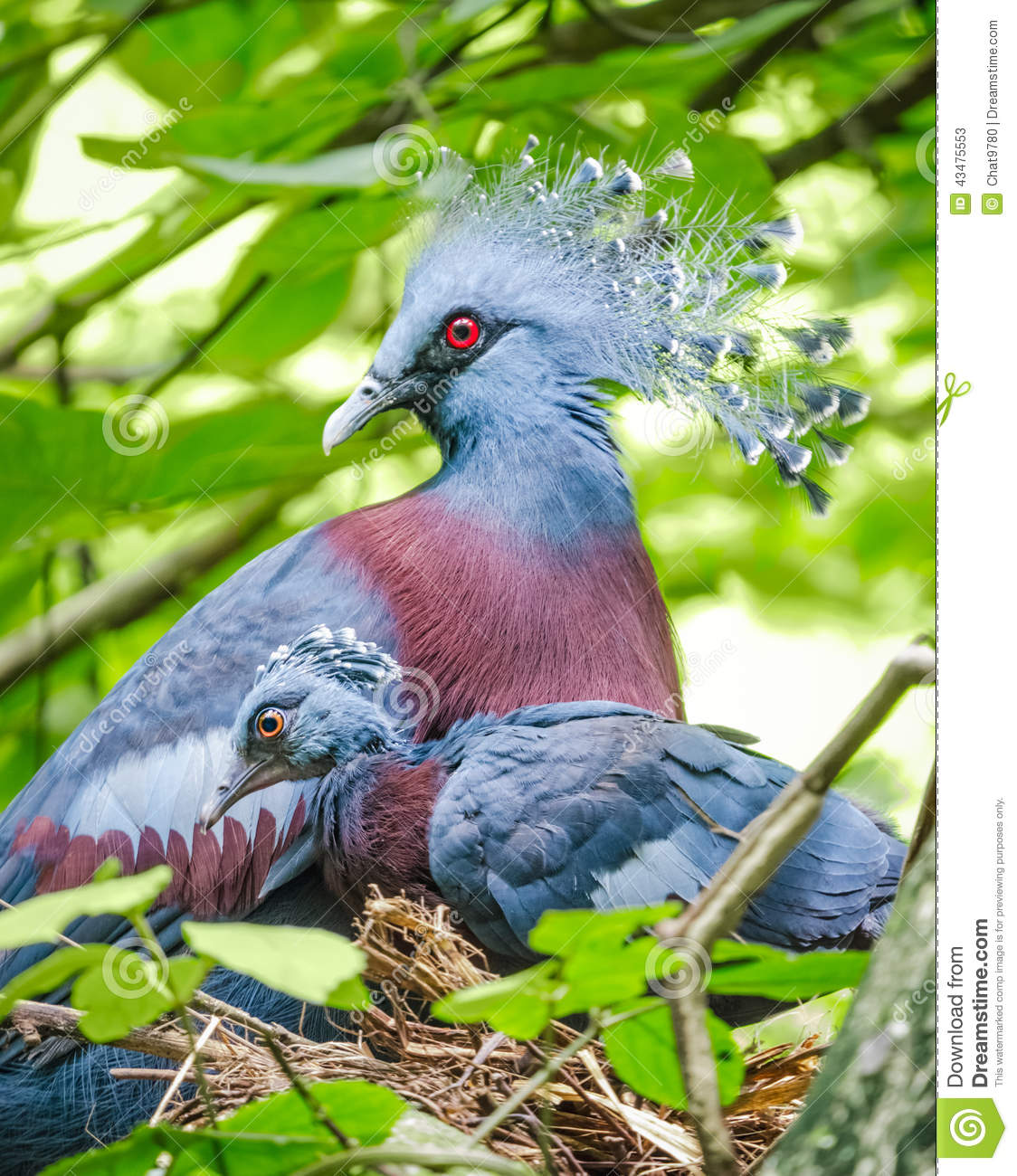 Victoria Crowned Pigeon And Baby Bird In The Nest Stock Photo.