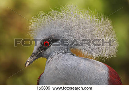 Stock Photograph of Victoria Crowned Pigeon.