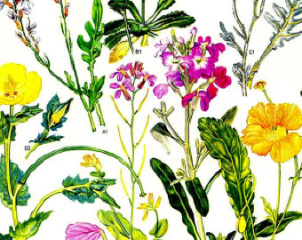 Dock Sorrel Plant Rumex Canigre Botanical by SurrenderDorothy.