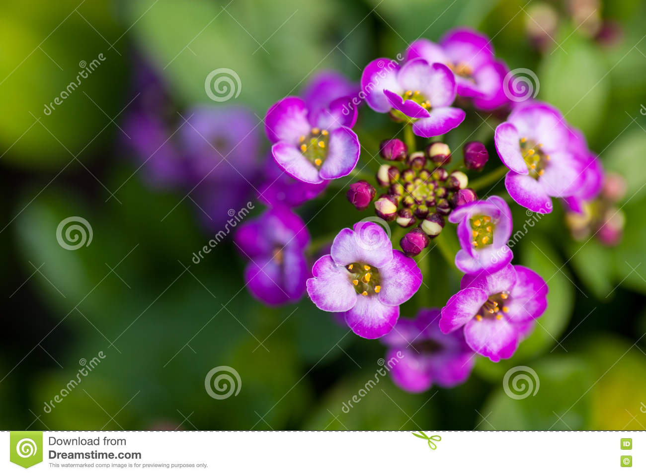 Close Up Of Pretty Pink, White And Purple Alyssum Flowers, The.