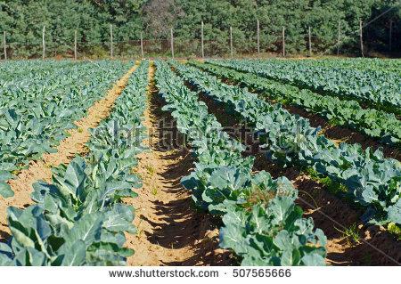 Brassicaceae Banco de Imagens, Fotos e Vetores livres de direitos.