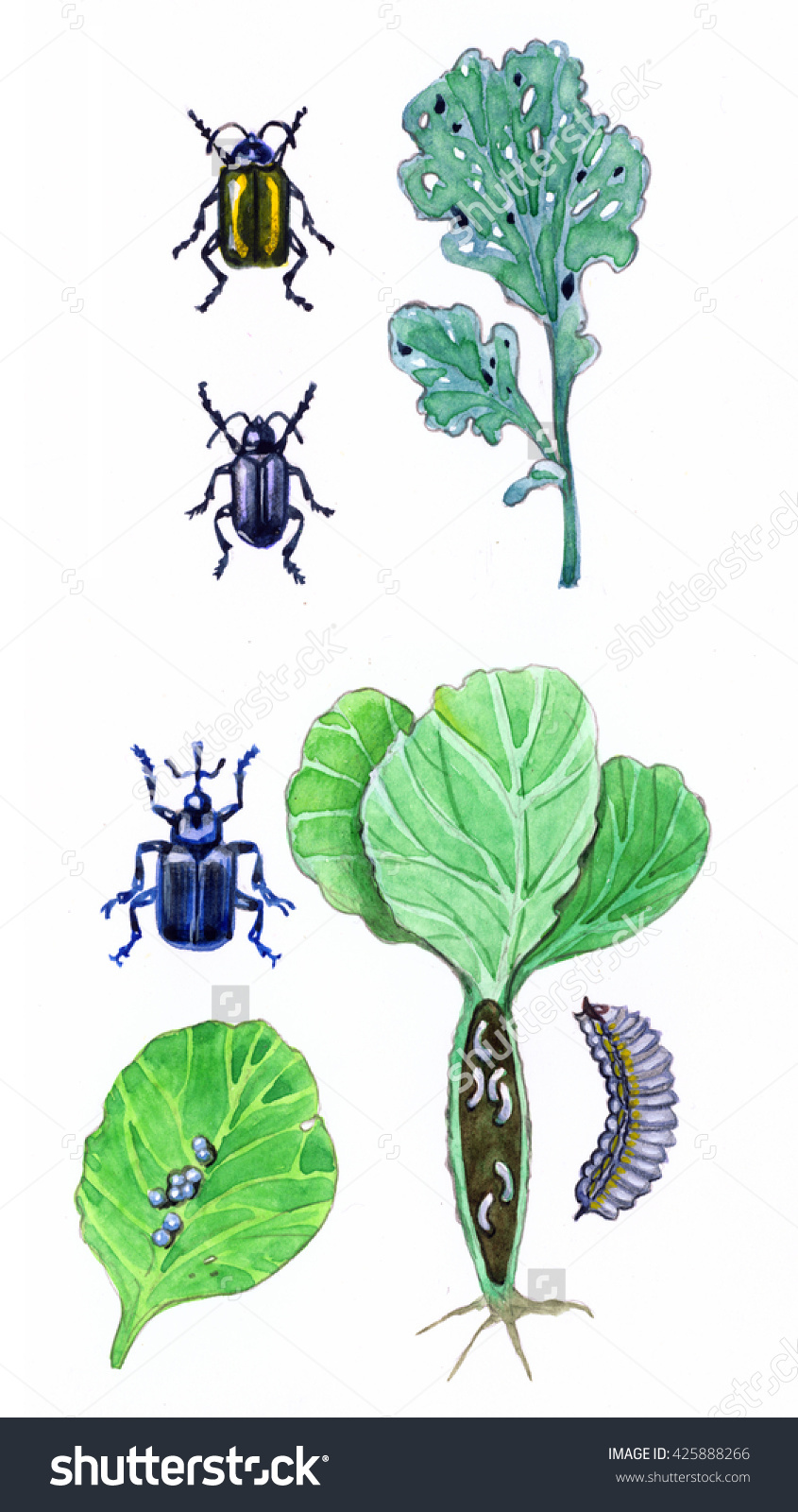 Cruciferous Fleas, Item Concealed Proboscis. Insect Pests Of.