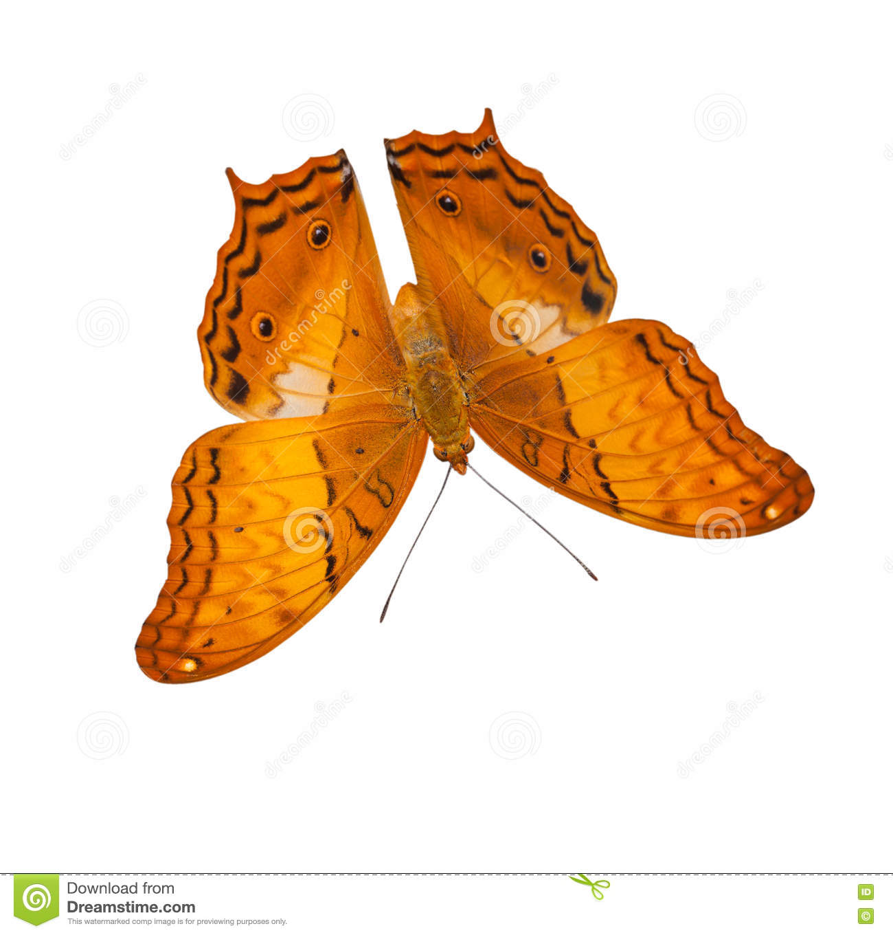 Common Cruiser Butterfly Isolated Stock Photo.