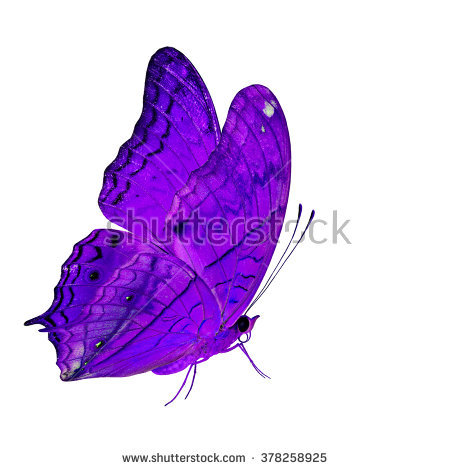 Beautiful Pink Butterfly Common Cruiser Butterfly Stock Photo.