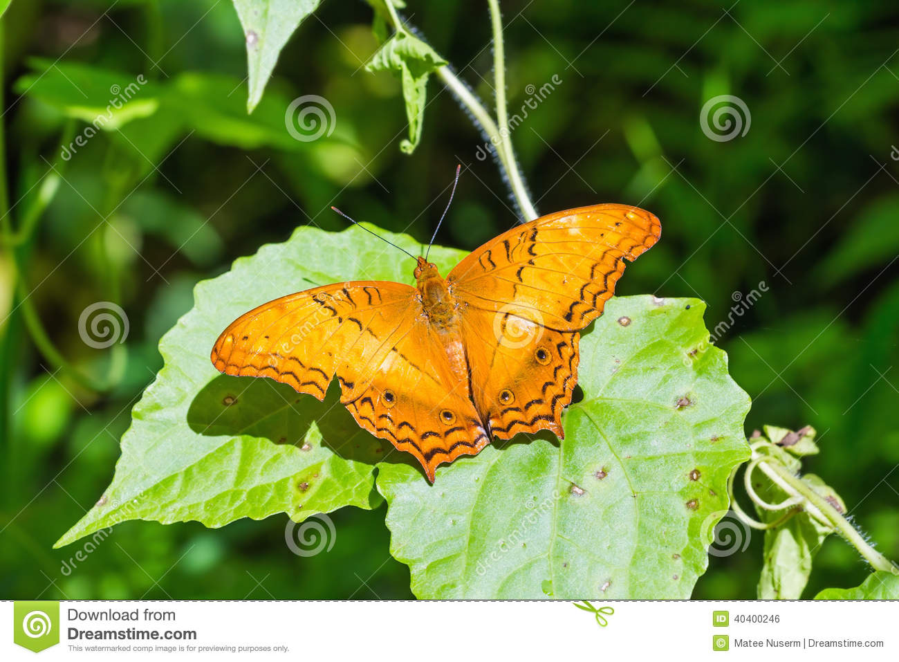 The Common Cruiser Butterfly Stock Photo.