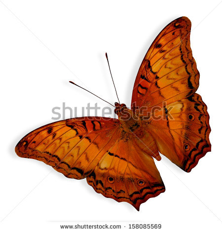 Beautiful Butterfly Common Cruiser Butterfly Lower Stock Photo.