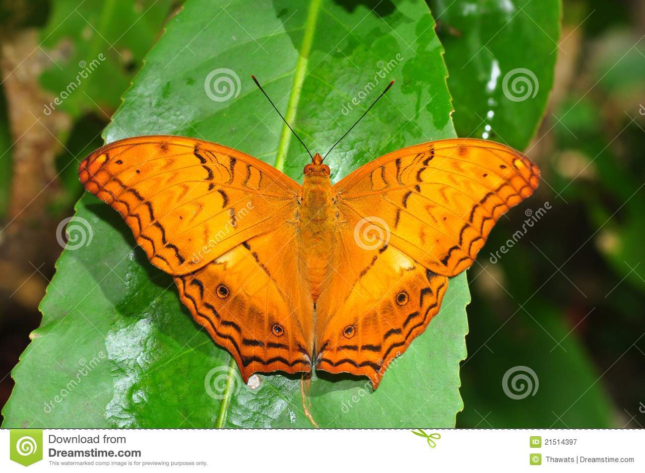 Common Cruiser Butterfly Royalty Free Stock Photography.