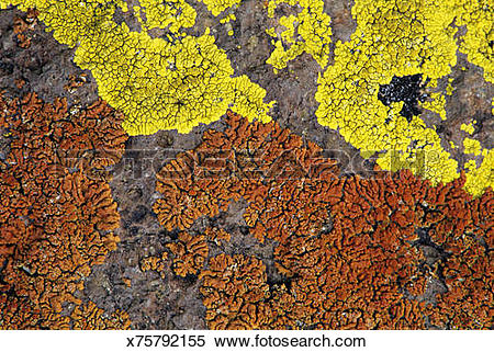 Stock Image of Closeup of yellow (Acarospora sp) and orange.