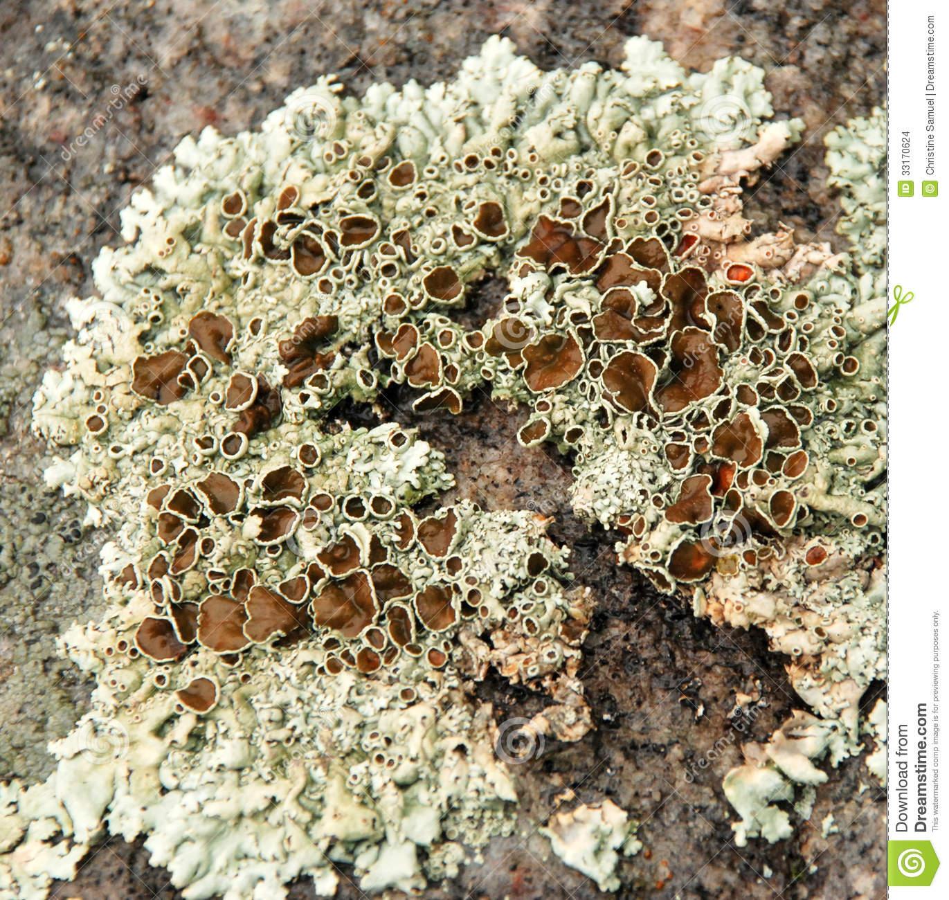 Crusty Lichen Algae Texture Stock Images.