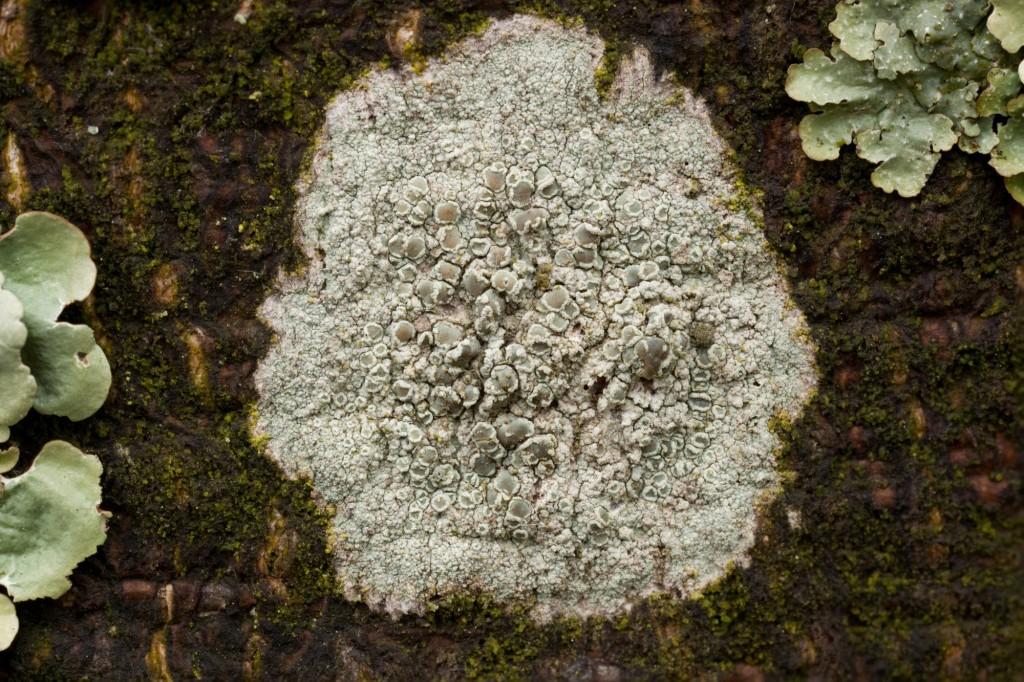 Crustose and foliose lichen.