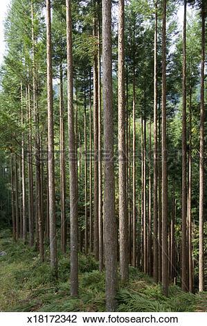 Stock Photo of Grove of Japanese Cedars (Cryptomeria japonica.