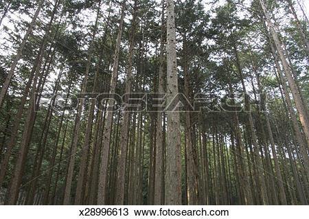 Stock Photo of Japan, Shizuoka Prefecture, Honkawane, Cryptomeria.
