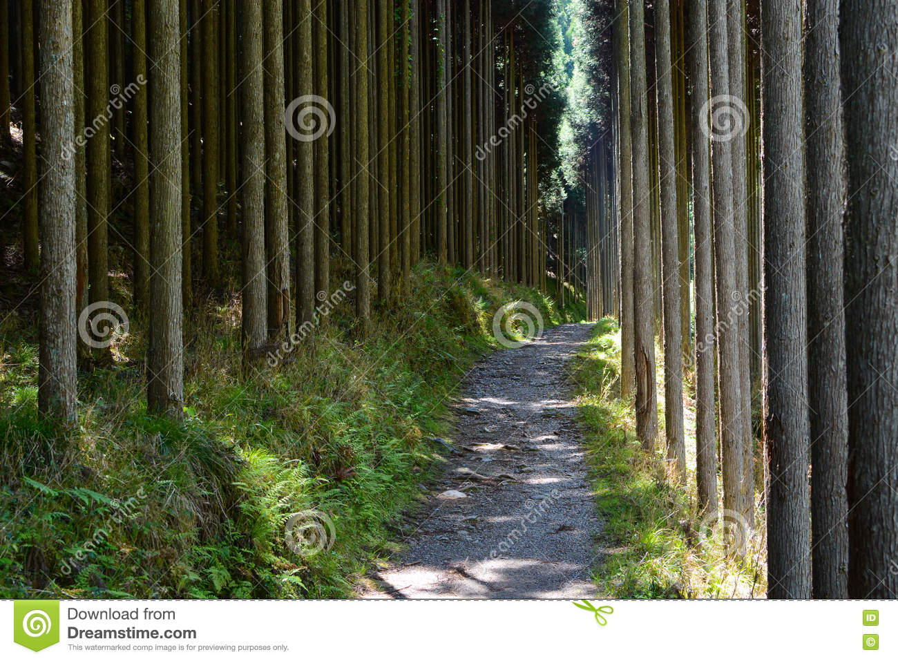 Forest Of Straight Cryptomeria Trees, Or Japanese Cedar, Along The.