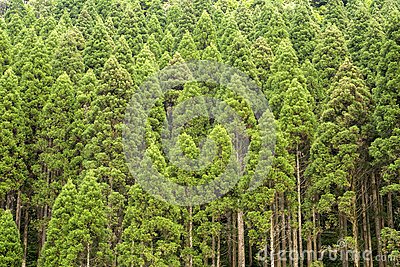 Cryptomeria Japonica Globosa Nana Stock Photo.