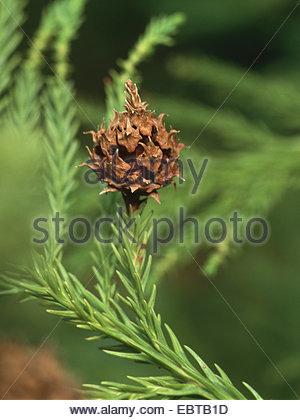 Cedar Tree Asia Stock Photos & Cedar Tree Asia Stock Images.