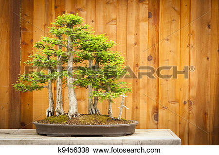 Japanese cypress Stock Photo Images. 112 japanese cypress royalty.