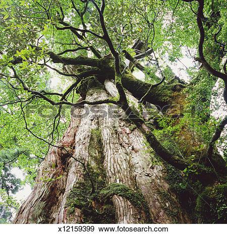 Stock Photograph of Japanese cedar tree (Cryptomeria japonica.