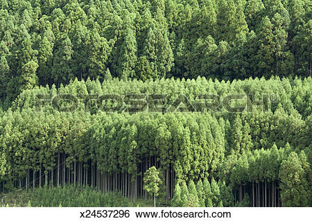 Stock Images of Hillside of Japanese Cedars (Cryptomeria japonica.