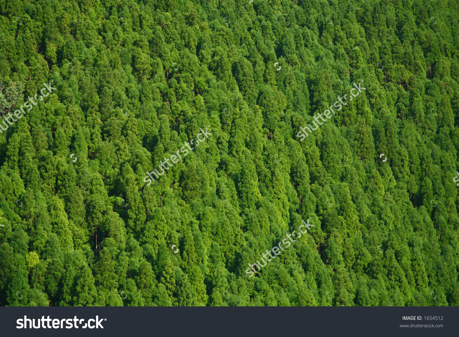 Japanese Cedar Forest (Cryptomeria Japonica Stock Photo 1654512.