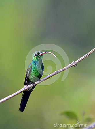 Cuban Emerald Hummingbird (Chlorostilbon Ricordii) Stock Photo.