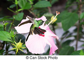 Stock Photography of Flying Cuban Emerald Hummingbird.
