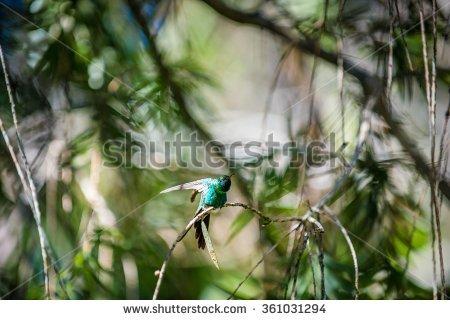 Emerald Hummingbird Stock Photos, Royalty.