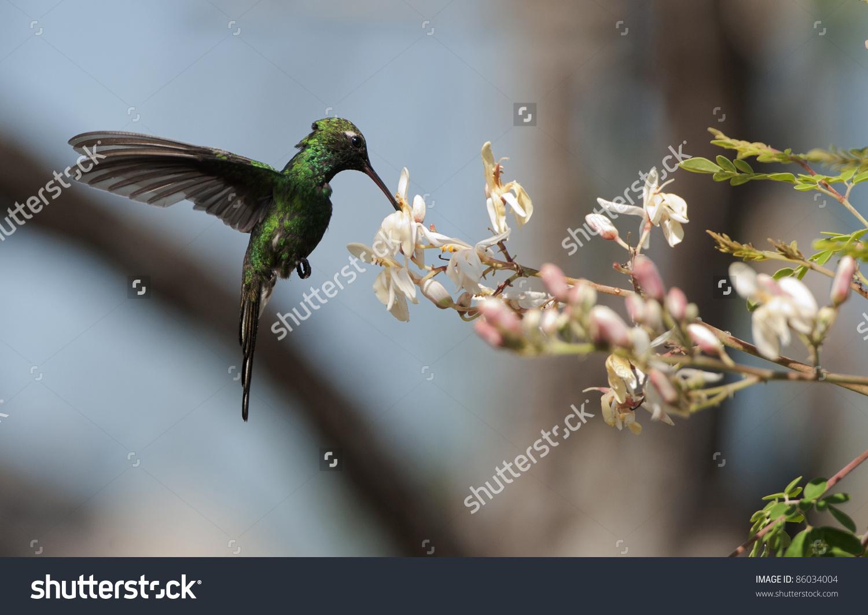 Cuban Emerald Hummingbird (Chlorostilbon Ricordii), Cienaga De.
