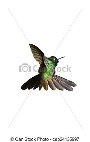 Stock Photographs of Male Cuban emerald hummingbird (Chlorostilbon.