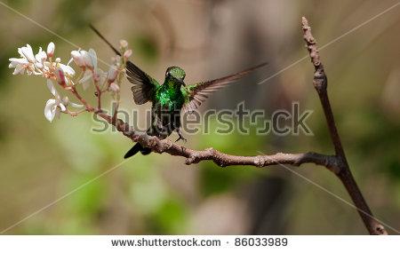 """""""emerald_hummingbird"""" Stock Photos, Royalty."""