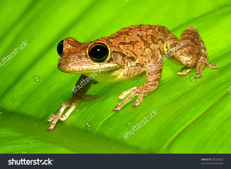 Cuban Tree Frog On Backlit Banana Leaf Stock Photo 23725822.