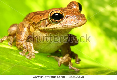 Spotted Tree Frog Stock Photos, Royalty.