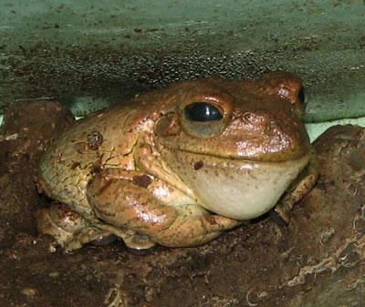 Tree Frog.