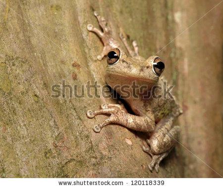 Cuban Tree Frog Stock Photos, Royalty.