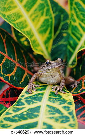 Picture of CUBAN TREE FROG IN CROTON BUSH x75486297.